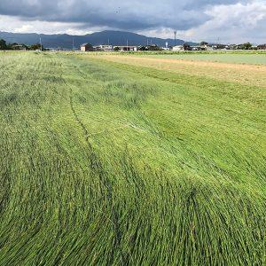 すべて本物の職人が丁寧に仕上げた熊本県八代産の「畳」